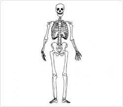 Bones clipart human body