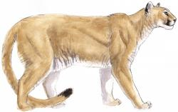 Drawn cougar mammal