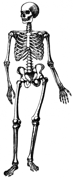Bones clipart simple skeleton