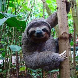Sloth clipart costa rica