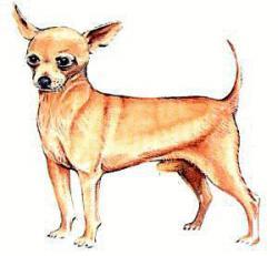 Chihuahua clipart art