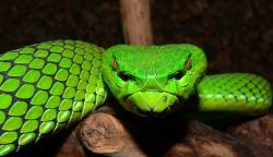 Smooth Green Snake clipart viper snake