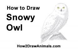 Drawn owl snowy owl
