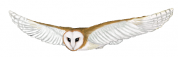 Barred Owl clipart flight drawing