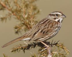 Swamp Sparrow clipart bird singing
