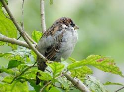 Swamp Sparrow clipart little bird