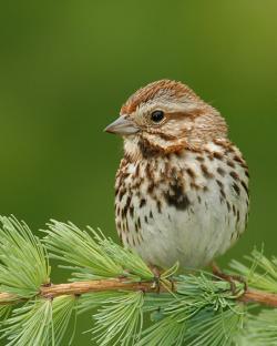 Song Sparrow clipart cute bird