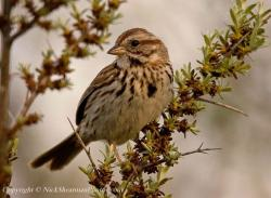 Song Sparrow clipart cute chick