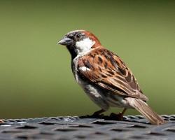 Song Sparrow clipart funny bird