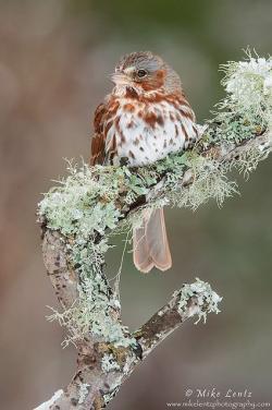 Swamp Sparrow clipart cute bird