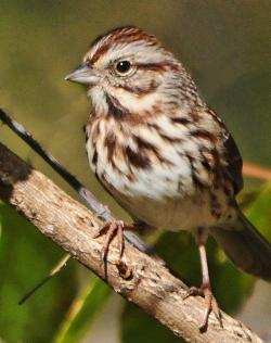 Swamp Sparrow clipart happiness
