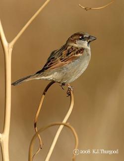 Swamp Sparrow clipart easy