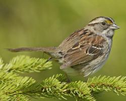 Swamp Sparrow clipart burung