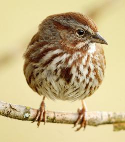 Song Sparrow clipart noisy child