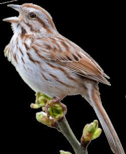 Swamp Sparrow clipart png transparent