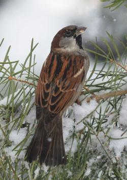 Swamp Sparrow clipart noisy child