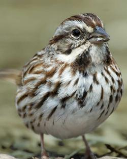 Song Sparrow clipart wildlife