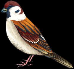 Sparrow clipart tweet bird