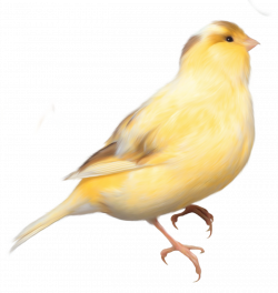 Canary clipart transparent