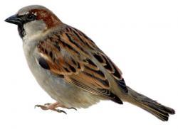 Swamp Sparrow clipart birdie