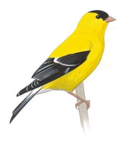 Goldfinch clipart eastern goldfinch