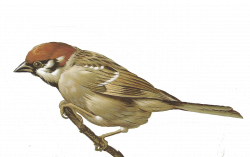 Finch clipart sparrow