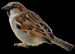 Song Sparrow clipart burung