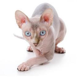 Sphynx Cat clipart hairless cat