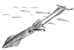 Herring clipart Squid Clipart