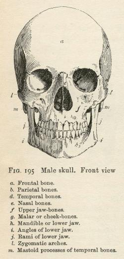 Bones clipart anatomy