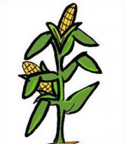 Corn clipart corn stalk
