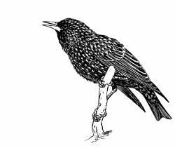 Starling clipart different bird