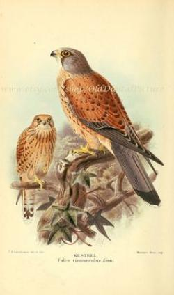 Kestrel clipart brown bird