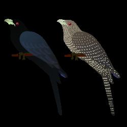 Bird clipart koyal