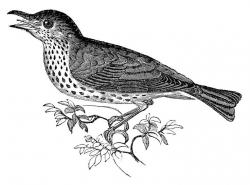Starling clipart