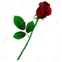 Drawn red rose stalk