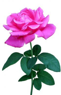 Pink Rose clipart stalk