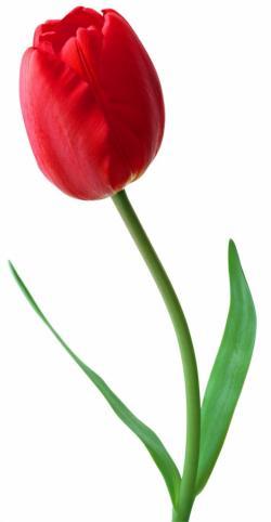 Stem clipart tulip