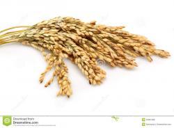 Oat clipart rice stalk