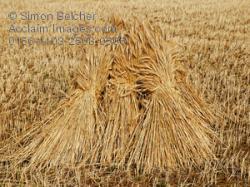 Malt clipart wheat sheaf