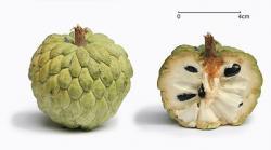 Sugar Apple clipart tropical