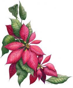 Poinsettia clipart pink