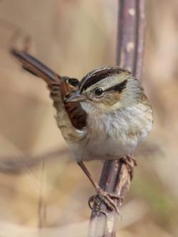 Swamp Sparrow clipart birthday