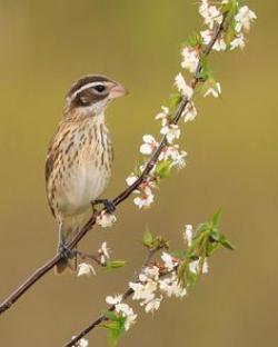 Swamp Sparrow clipart