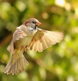 Swamp Sparrow clipart nightingale