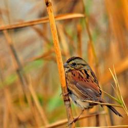 Swamp Sparrow clipart wildlife