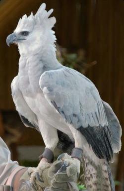 Tawny Eagle clipart ojibwe