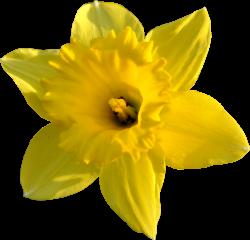 Daffodil clipart head
