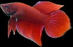Betta clipart realistic fish