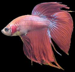 Betta clipart transparent fish